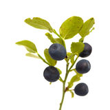 Bilberry branches with berries Royalty Free Stock Photo