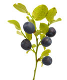 Bilberry branches with berries Stock Image