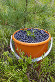 Bilberry Royalty Free Stock Photos