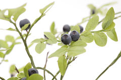 Bilberry bush. On white background Stock Photography