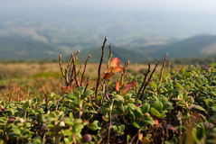 Bilberry bush. In high Carpatians mountains Stock Images