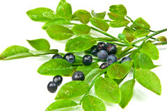 Bilberry bush. Bilberries and the branch of an bilberry bush Royalty Free Stock Photo