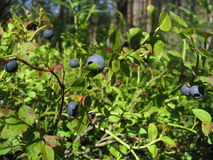 Bilberry-bush Stock Images