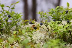 Bilberry bush Royalty Free Stock Photos