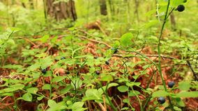 Bilberry-bush with berries. Bilberry-bush with ripe berries in the forest stock footage