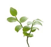 Bilberry bush Royalty Free Stock Photography