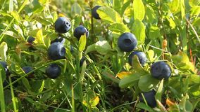 Bilberry bush. With ripe berryes and green leafs stock video footage