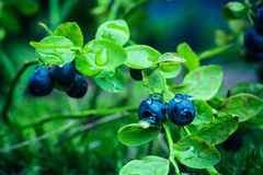 Bilberry in the forest Stock Photography