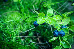 Bilberry in the forest Stock Images