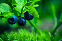 Bilberry in the forest Stock Photo