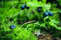 Bilberry in the forest Stock Image