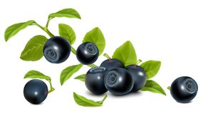 Bilberry with green leaves. Royalty Free Stock Images