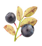 Bilberry group leaves Stock Photography
