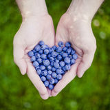Bilberry heart in hand Royalty Free Stock Photo