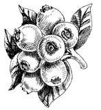 Bilberry -  illustration Stock Photos