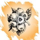 Bilberry -  illustration Stock Image