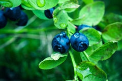 Bilberry In The Forest Royalty Free Stock Photos