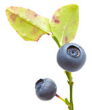 Bilberry isolated Stock Photography