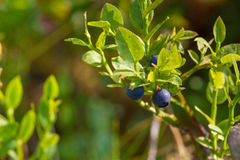 Bilberry macro plant on the forest. Wild, unripe bilberry plant on the forest Royalty Free Stock Photography
