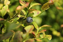 Bilberry. Picture taken in the mountains of blueberries royalty free stock image
