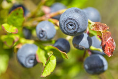 Bilberry Stock Images