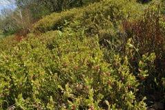 Bilberry Scrub stock photo