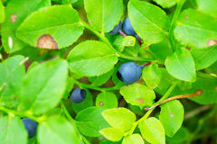 Wild bilberry fruits. Close up of bilberry berries growing on bush in the forest. Royalty Free Stock Photography