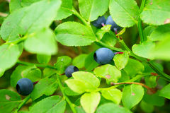 Wild bilberry fruits. Close up of bilberry berries growing on bush in the forest. Royalty Free Stock Photo