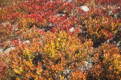 Bilberry shrubs Stock Images