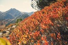 Bilberry shrubs Stock Image