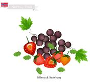 Bilberry and Strawberry, The Popular Fruits of Norway Royalty Free Stock Photography