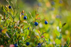 Bilberry, whortleberry or European blueberry Vaccinium myrtillu. S growing in the forest Royalty Free Stock Photography