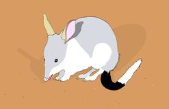 Bilby Stock Photo