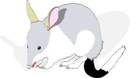 Bilby with Shadow Stock Image