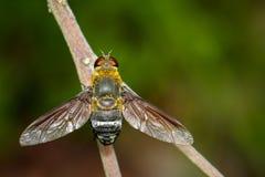 Bild av biflugan på en brun filial kryp angus royaltyfria bilder