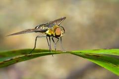 Bild av biflugan på ett grönt blad kryp angus fotografering för bildbyråer
