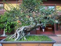 Bild av bonsaiträden som kan ses i Nan Lian Garden i Hong Kong arkivbilder