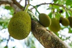 Bild av brödfrukten på träd phuket thailand Arkivfoton