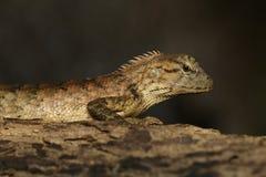 Bild av den bruna kameleonten på träd reptil angus royaltyfria bilder