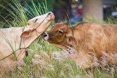 Bild av den bruna kon på naturbakgrund Royaltyfria Foton