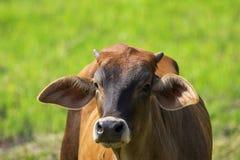 Bild av den bruna kon på naturbakgrund Arkivbilder