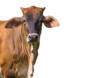 Bild av den bruna kon på vit bakgrund royaltyfria bilder