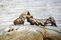 Bild av den bruna larven på torr timmer för brunt kryp Royaltyfri Bild