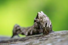 Bild av den bruna larven på torr timmer för brunt kryp Fotografering för Bildbyråer