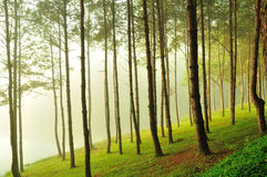 Bild av den dimmiga pinjeskogen Arkivbilder