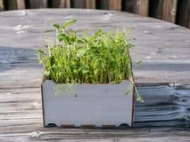 Bild av den fyrkantiga asken med gr?na gras p? en tr?tabell, stads- arbeta i tr?dg?rden royaltyfri bild