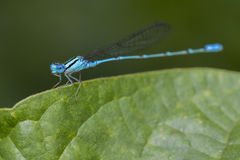 Bild av den gemensamma Bluet Enallagma cyathigerumen Arkivbild