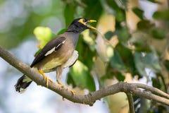 Bild av den gemensamma mynahfågeln på filialen på naturbakgrund Royaltyfria Foton