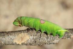 Bild av den gröna larven på en filial kryp angus arkivfoto