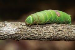 Bild av den gröna larven på gröna sidor kryp angus arkivbild